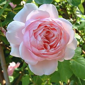 St. Ethelburga Rose